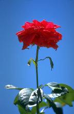 rose_sky